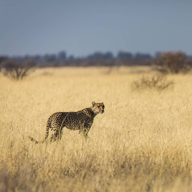 Cheetah in grass of the Kalahari