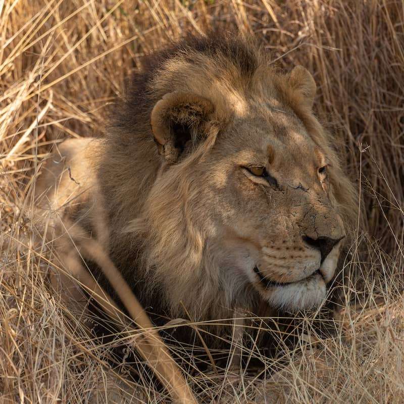 Lion resting in the grass